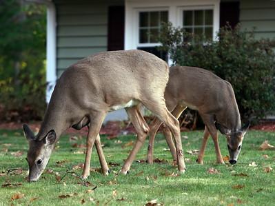 Deer grazing in Chelmsford 110520