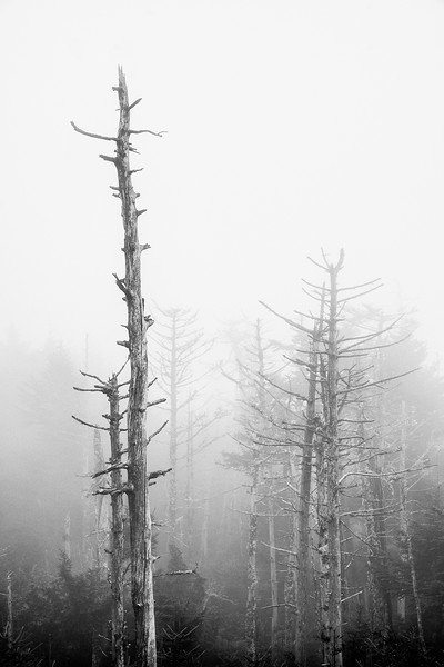 Trees at Clingmans Dome