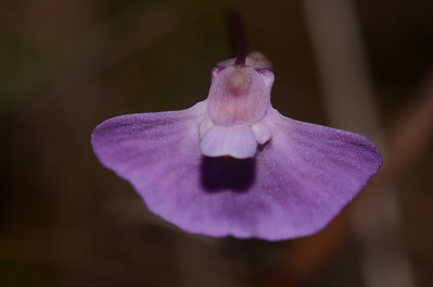 """Utricularia sp."" of the Yuraygir National Park"