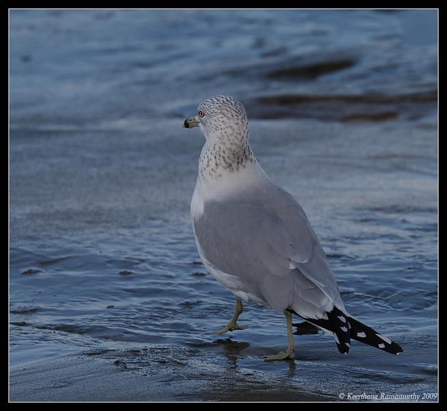Ring-Billed Gull, La Jolla Cove, San Diego County, California, February 2009