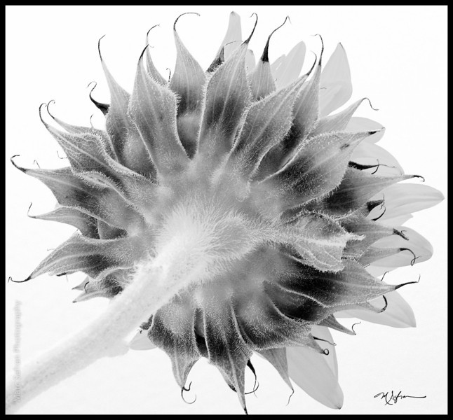 Flower_Sunflower_Back_View_Duotone.jpg
