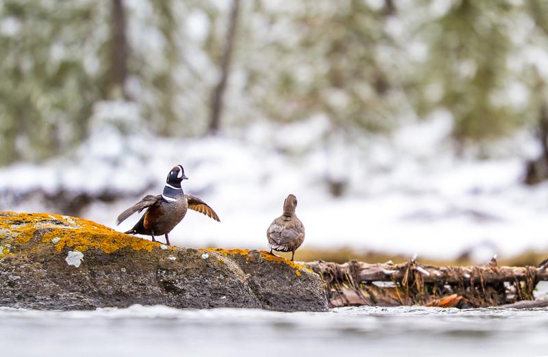Harlequin Duck Madison River Yellowstone National Park WY IMG_0187.jpg