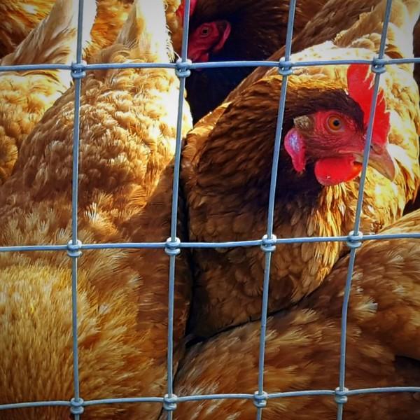 42 (2-19-19) Whoo U callin Chicken.jpg