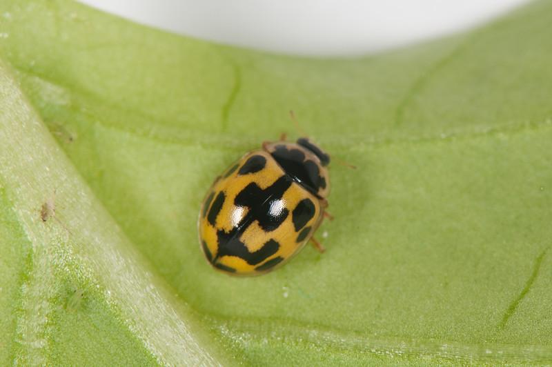 20080822as17-03-39 Propylea quatuordecimpunctata, sjakkbrettmarihøne