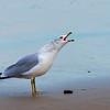 SeagullSandbridgeBeach-004