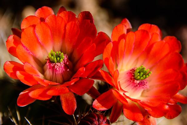 AZ Desert Flowers