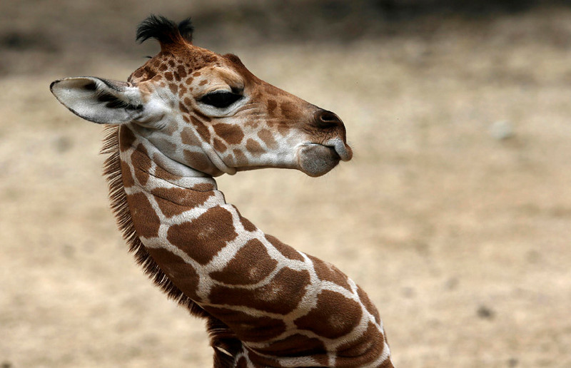 . Two-week-old  giraffe at the Brookfield Zoo near Chicago, Illinois, July 3, 2013.