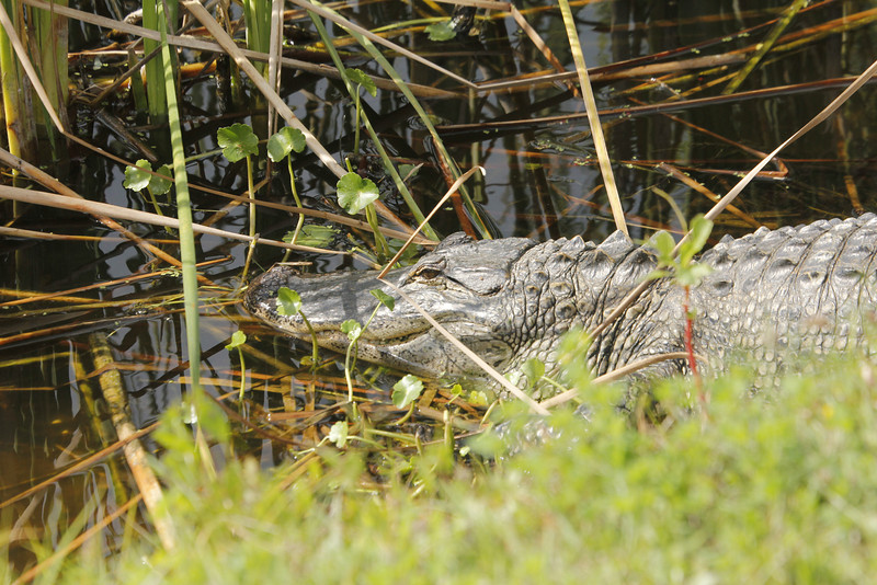 can't believe there is a gator at The Rookery with all the nesting birds!