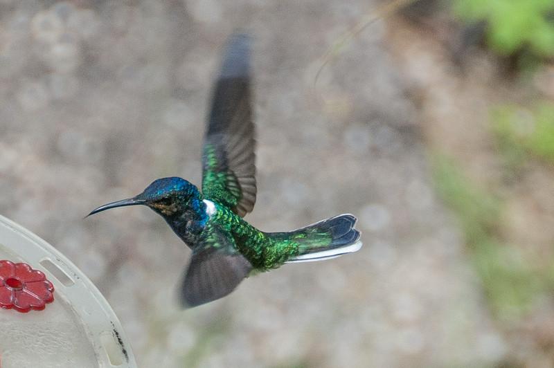 Hummingbird in flight on the island of Trinidad