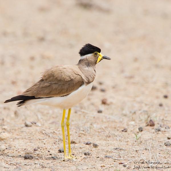 Yellow-wattled Lapwing - Kutch, Gujrat, India