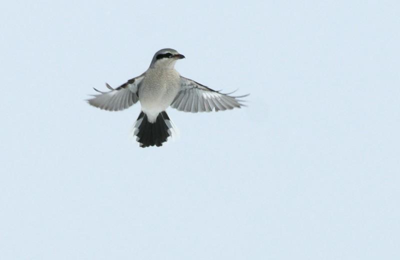 Northern Shrike Sax-Zim Bog_3008263.jpg