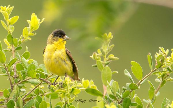 Lesser Goldfinch_DWL0271.jpg