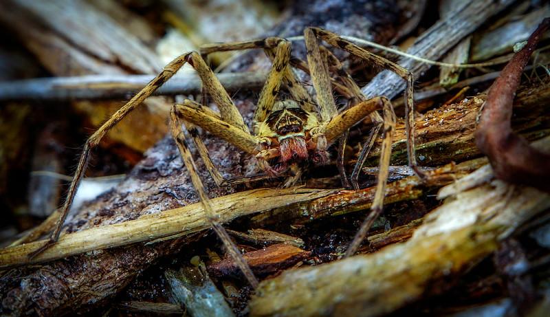 Spiders-Arachnids-127.jpg