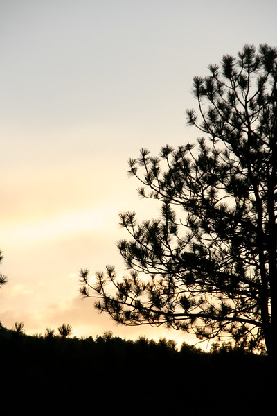 Pine as the light fades