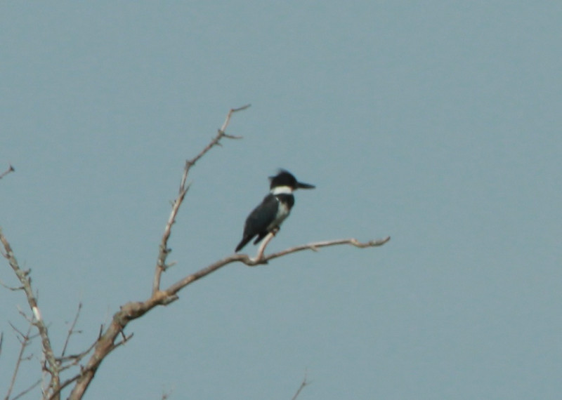Belted Kingfisher @ Simpson Lake CP [Boatramp wharf]