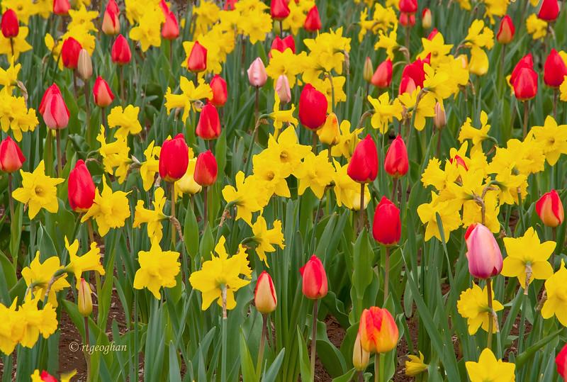 April 22_Tulips&Daffodils_0194.jpg