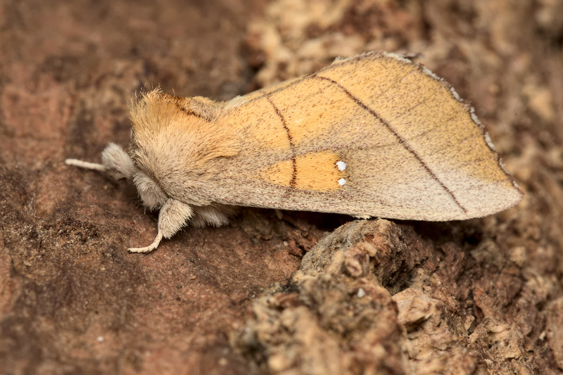 White-dotted Prominent Moth