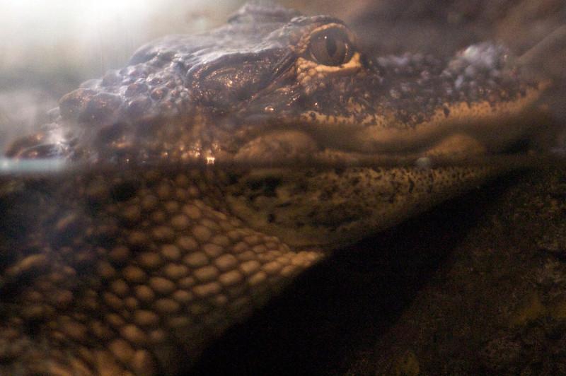 Croc (Gator?) at the SC Aquarium