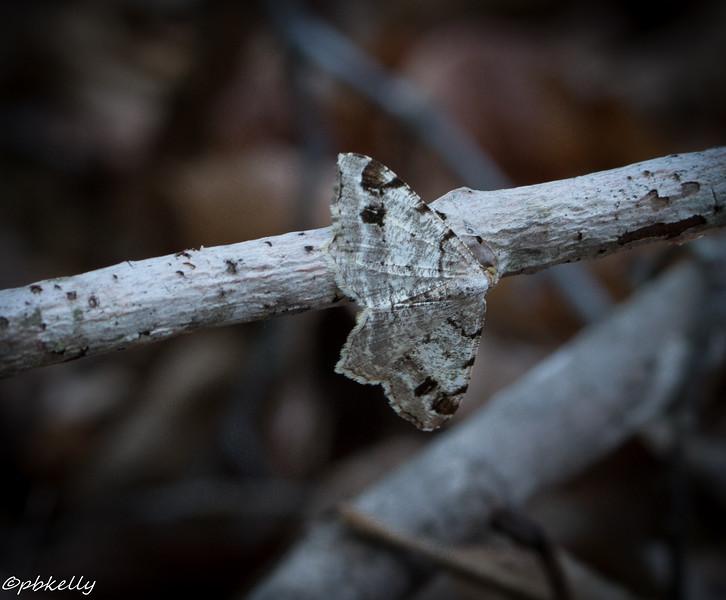 White Pine Angle.