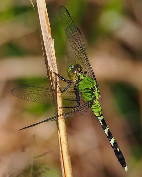 Eastern Pondhawk, female