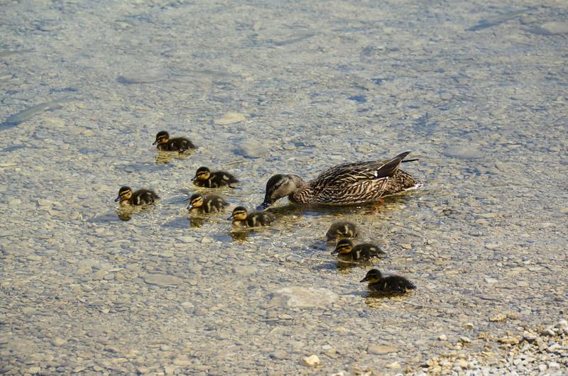 Duck and Ducklins. Bohinjsko jezero, Rib