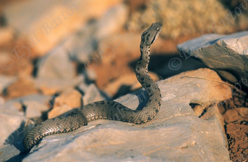 Lebanon viper (Montivipera bornmuelleri) צפע החרמון