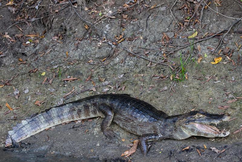 crocodile / jacaré