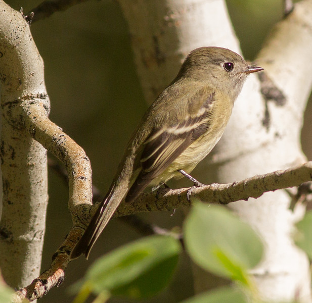 Hammond`s Flycatcher Wilfred Canyon Glass Mountains 2014 09 20 (1 of 1).CR2 (1 of 1).CR2 (1 of 1).CR2