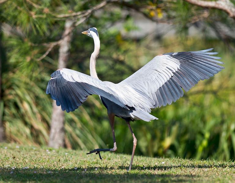 Great Blue Heron In A Hurry Wakodahatchee Wetlands Delray Beach, Florida © 2012