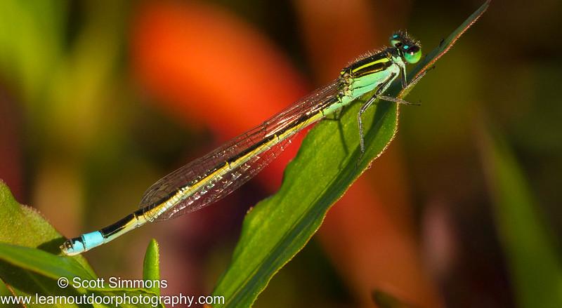 Damselflies (Zygoptera)