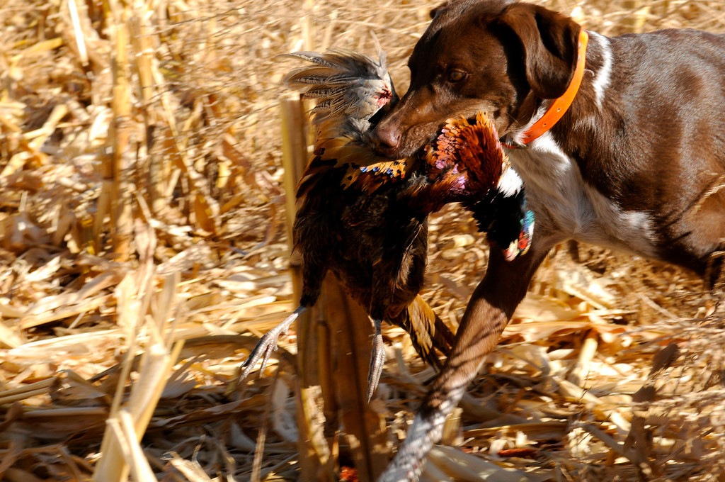 . Bailey earns her chops as a bird dog with a fine retrieve of a ringneck rooster on the 2103 opening weekend of pheasant season near Holyoke.