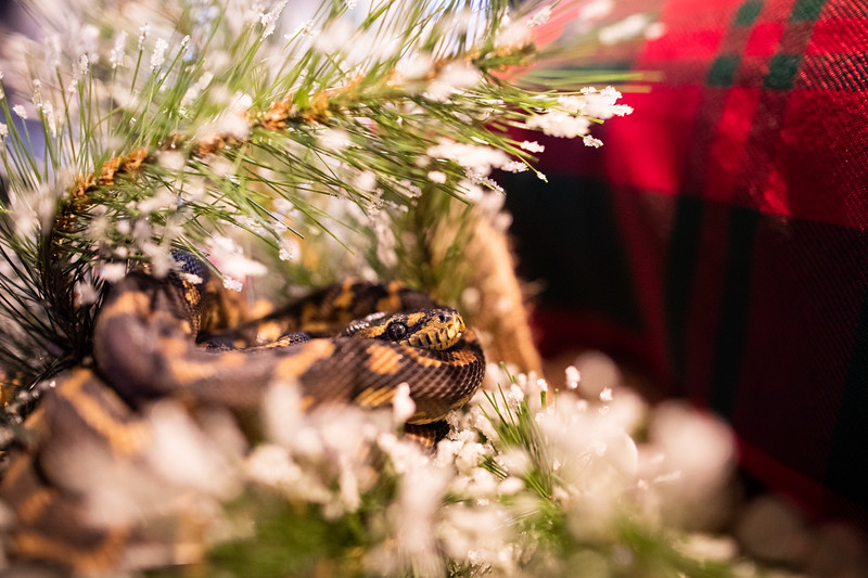 ChristmasSnakes19_0007.jpg