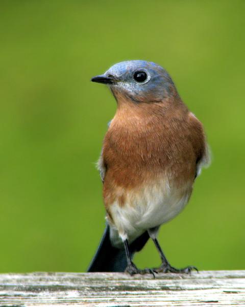 bluebird_fledgling_2592.jpg