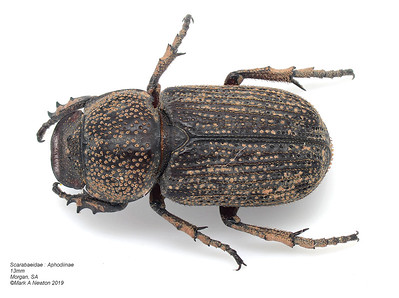 Dynastinae  - Rhinoceros beetles