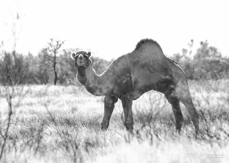 One-humped Camel, Newhaven Station, B&W, Jun 2012-1.jpg