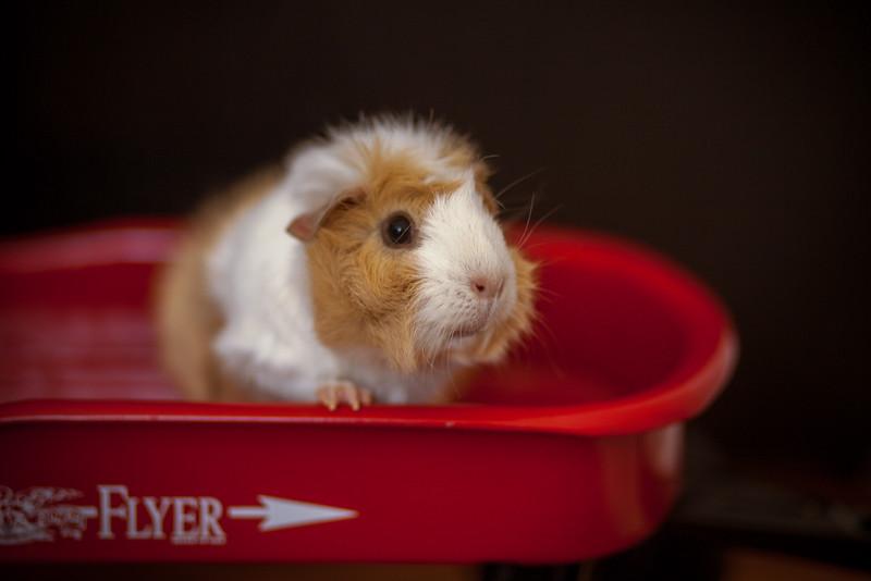 Ginea Pigs-21.jpg