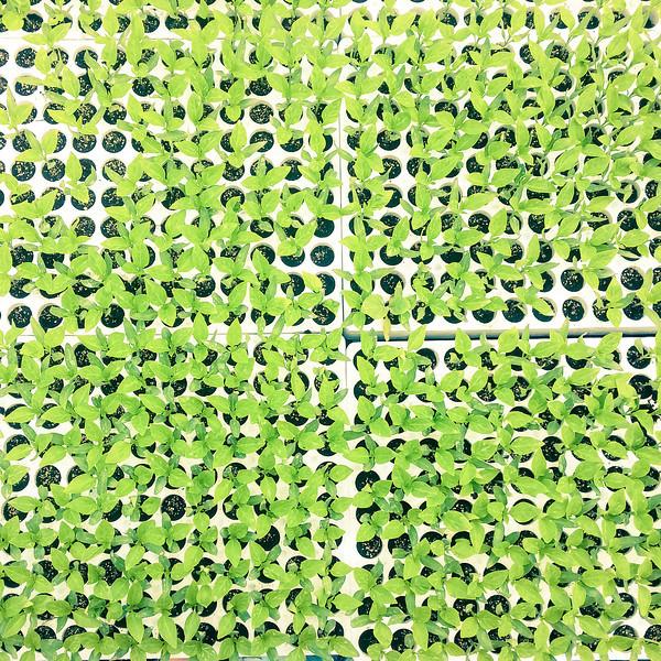calemone plants 2.jpg