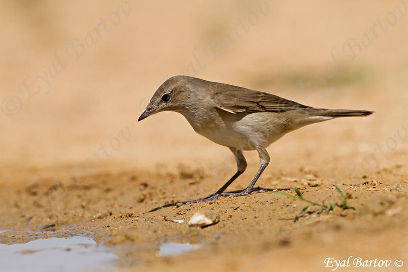 Garden Warbler,( Sylvia borin)-  סבכי אפור