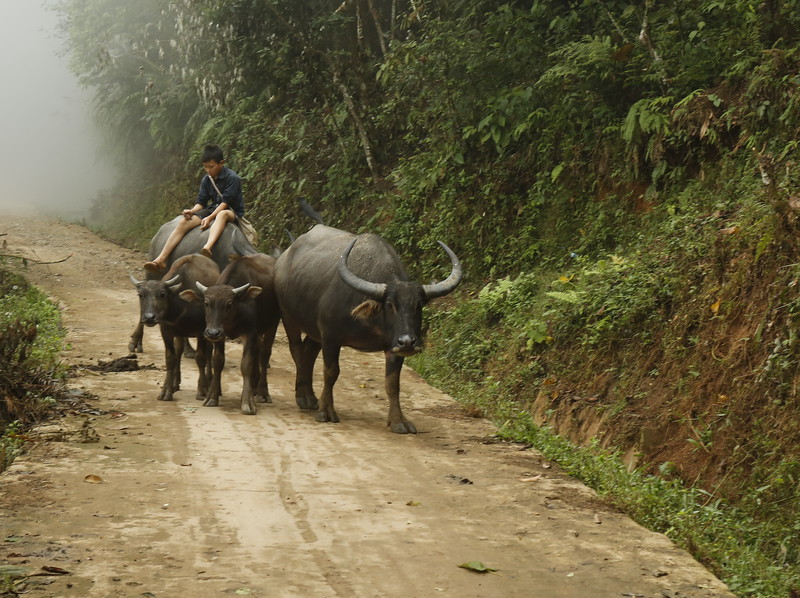 Young boy guides the water buffalo home.