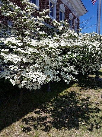 Dogwoods in Harrison