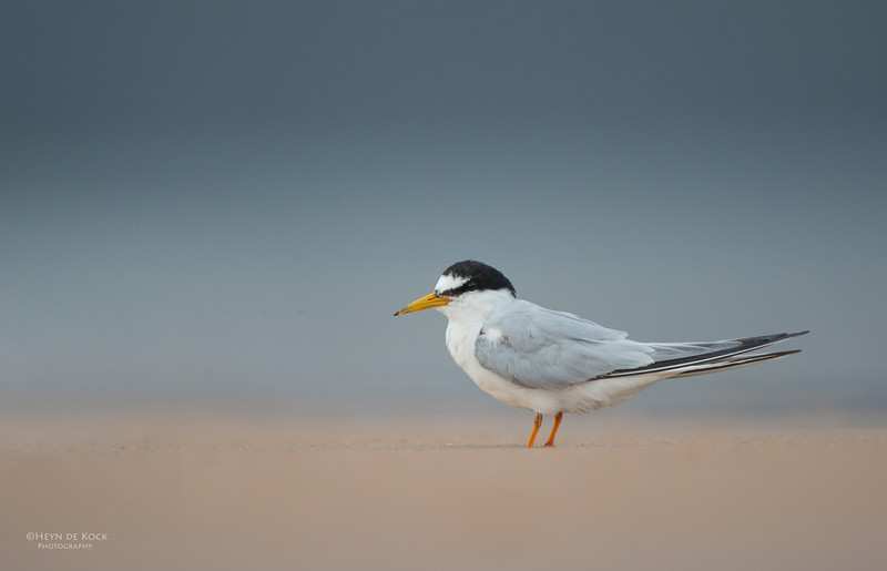 Little Tern, Lake Woolumbulla, NSW, Aus, Jan 2013-1.jpg