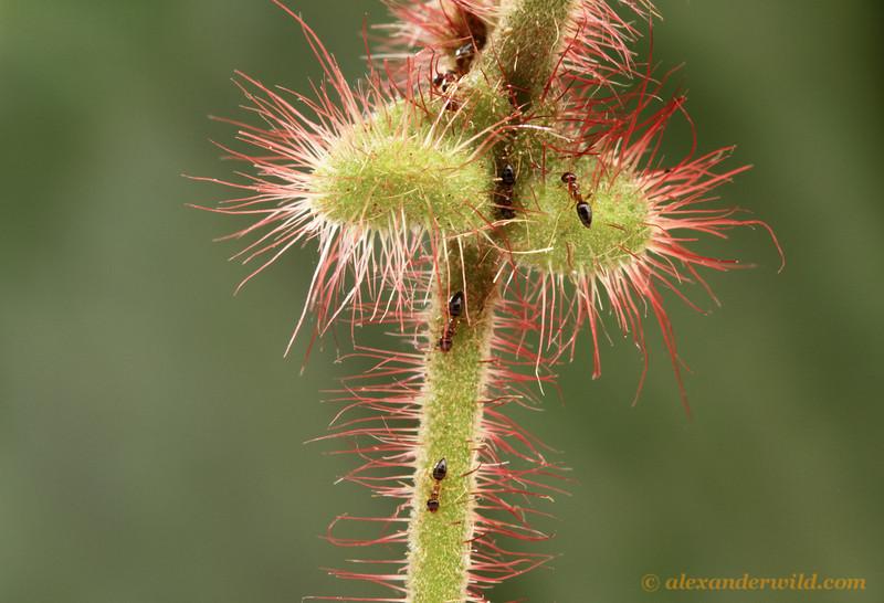 Myrmelachista