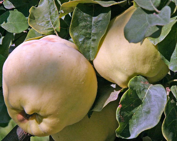 Unknown Fruit.jpg