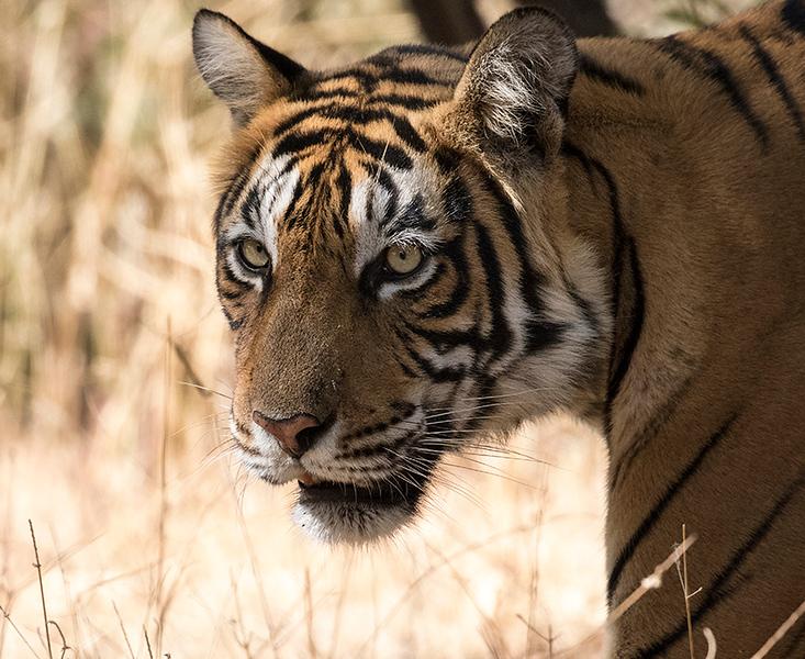 090_Tiger_T9A9821.jpg