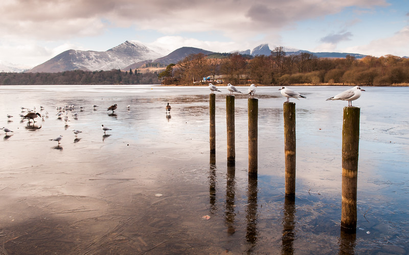 Gulls and Geese on frozen Derwent Water
