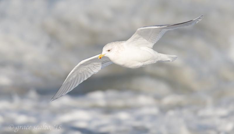 Iceland Gull White_O8U6140-Edit.jpg
