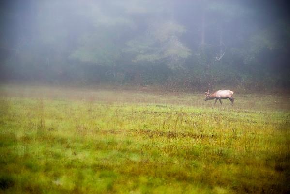 ELK at Cataloochee Valley (Smoky Mtn National Park)