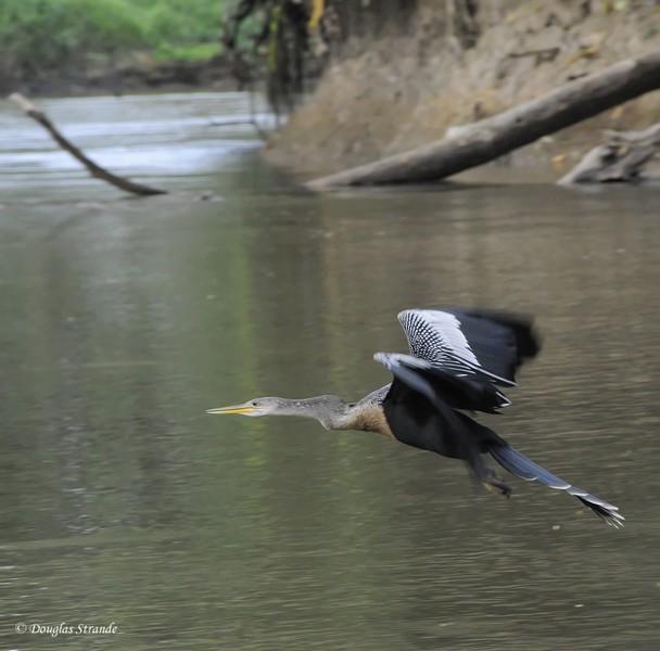 Cano Negro: Anhinga