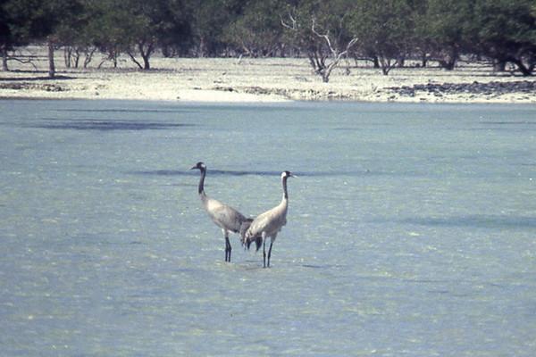 Common Crane (escape)