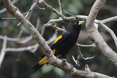 Blackbirds, Orioles and Oropendolas